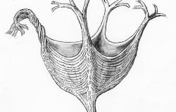 Haootia Quadriformis: The World's Oldest Muscular Animal